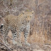 Leopard (Panthera pardus). Kruger National Park, Limpopo Province, South Africa. Organization for Tropical Studies Trip 2009.