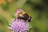 Eristalis intricaria - a species of Drone Fly