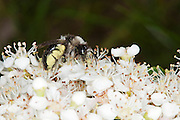 Female ashy mining bee (Andrena cineraria) collecting nectar from the flowers of a Pyracantha in an urban garden. The proboscis can be see inserted into the flower head.