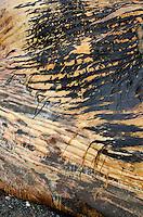 Detail of skin, Northern Right Whale killed by a ship strike, Campobello Island, Nova Scotia.