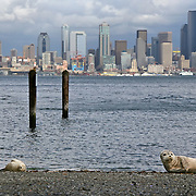 Three harbor seal pups with Seattle skyline.