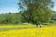 Walkers on nature walk strolling through a meadow of buttercups in The Cotswolds, UK