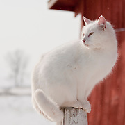White cat perched atop a fencepost next to a red barn
