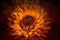 A yellow strawflower at the end of summer. Dried but still beautiful.