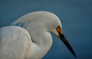 The snowy egret (Egretta thula), and the similar Old World little egret, are common in Florida and the Bahamas.  At one time, the beautiful plumes of the snowy egret were in great demand by market hunters as decorations for women's hats. This reduced the population of the species to dangerously low levels.