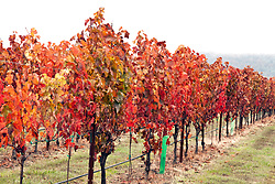 A foggy morning can't muffle the Fall colors of the vineyards at Abacela Winery, Roseburg, Oregon.