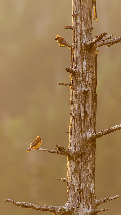 Two Cedar Waxwing enjoying the last few minutes of golden light in the Smoky Mountains.