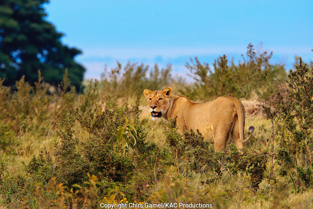 Female lion standing in brush, Ngorongoro crater, Tanzania.