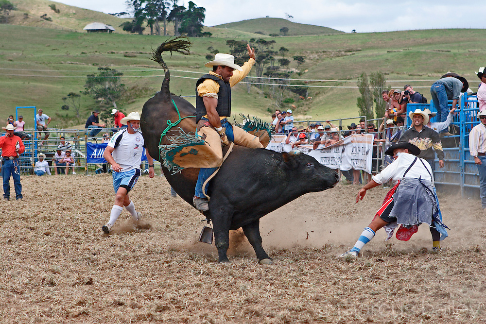 bucking bull jumping, twisting and kicking up dust in motion as he attempts to throw this bull rider to the ground at Hellensville Rodeo, Auckland, New Zealand