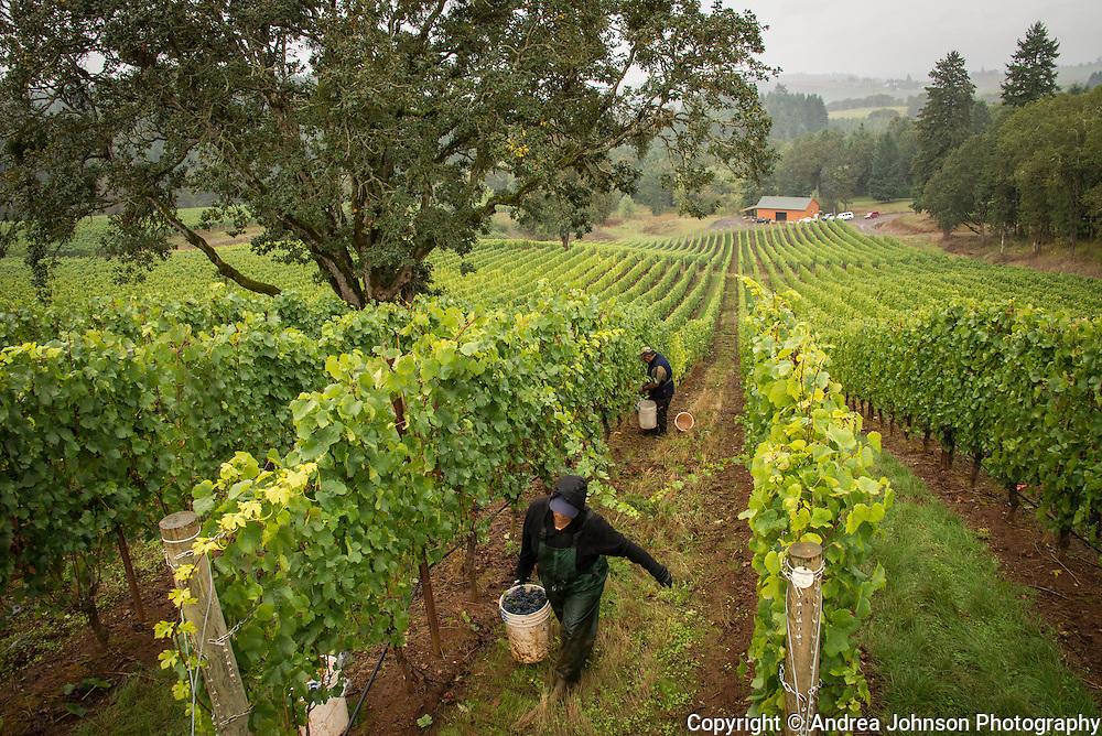 Alexana harvest & crush 2013, Dundee Hills, Willamette Valley, Oregon