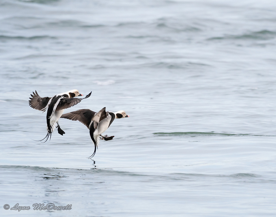 Love how this picture shows the name sake of these beautiful male Long-Tailed Duck.  Indian River Inlet