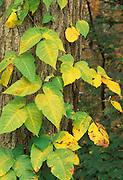 Poison Ivy; Toxicodendron radicans; autumn, PA, Philadelphia