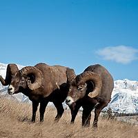 two bighorn rams feeding wild rocky mountain big horn sheep