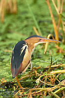 Least Bittern (Ixobrychus exilis) ,  Green Cay Nature Centre, Delray Beach, Florida, USA