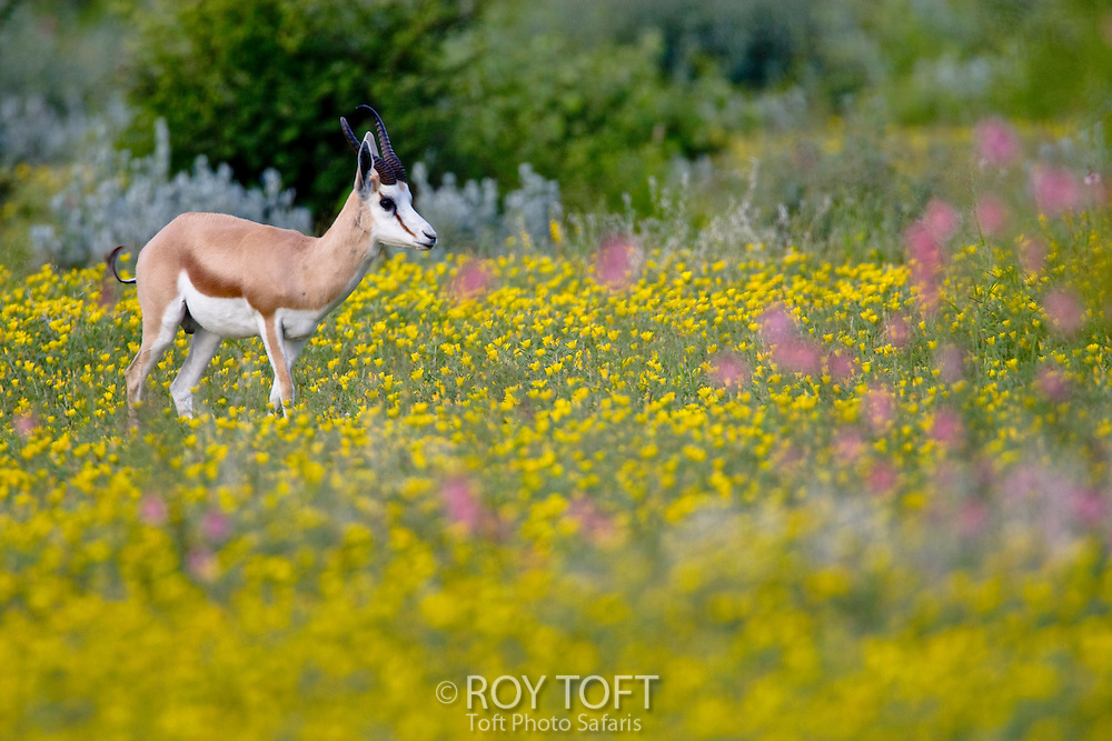 A grazing Sprinbok surrounded by yellow and pink colored flower fields.