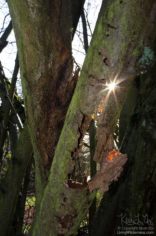 The sun shines through a hole in a decaying Sitka Spruce (Picea sitchensis) tree in Seattle, Washington.