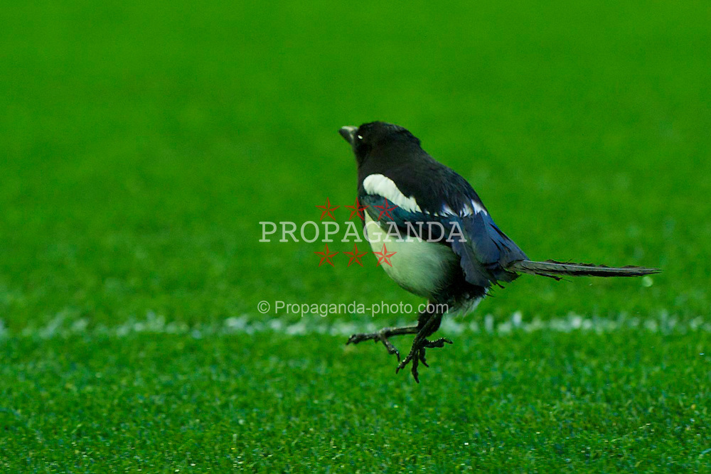 LIVERPOOL, ENGLAND - Thursday, April 29, 2010: A magpie on the pitch during the UEFA Europa League Semi-Final 2nd Leg match against Club Atletico de Madrid at Anfield. (Photo by: David Rawcliffe/Propaganda)