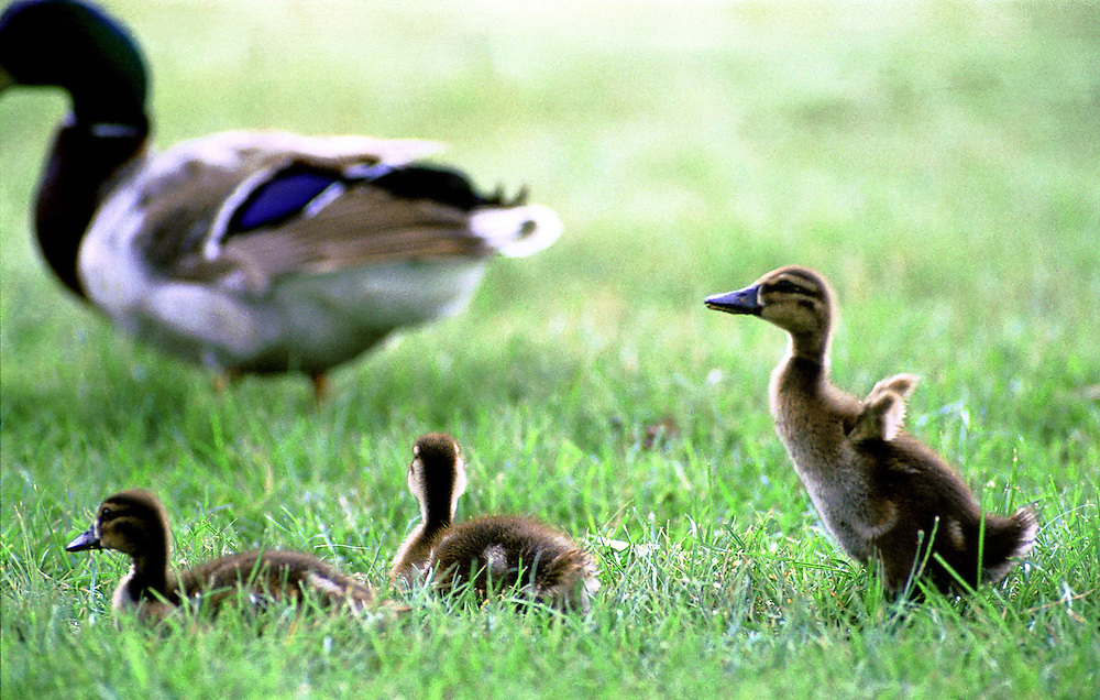 Ducklings play in the grass with mom close by