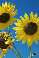 close up of sunflowers