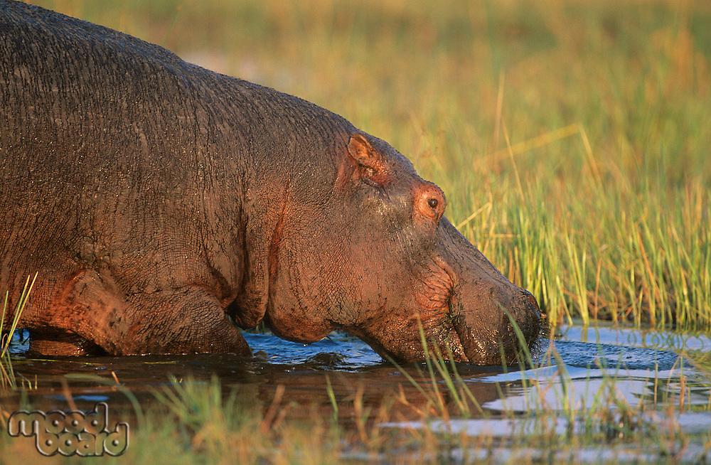 Hippopotamus (Hippopotamus Amphibius) bathing in waterhole