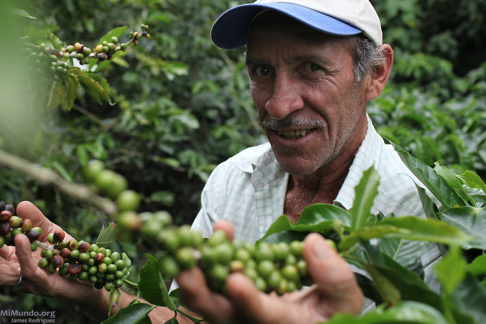 Guido Espinoza Vásquez, small-scale sugar cane and coffee producer affiliated to the Victoria Industrial Agricultural Co-operative, inspects coffee cherries. COOPEVICTORIA, San Isidro de Grecia, Alajuela, Costa Rica. August 21, 2012.