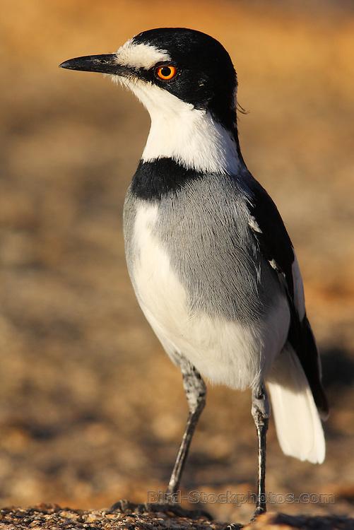 White-tailed Shrike, Lanioturdus torquatus, Erongo, Namibia, by Markus Lilje