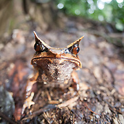 Bornean horned frog, Megophrys nasuta, on the forest floor in Borneo