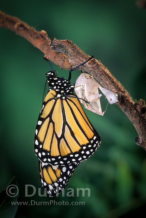 Emerging monarch butterfly (Danaus Plexippus). The butterly has just pushed itself out of the chrysalis casing. Fluid has  pumped from its abdomen into the wingsto get them ready for flight. (11 0f 11).