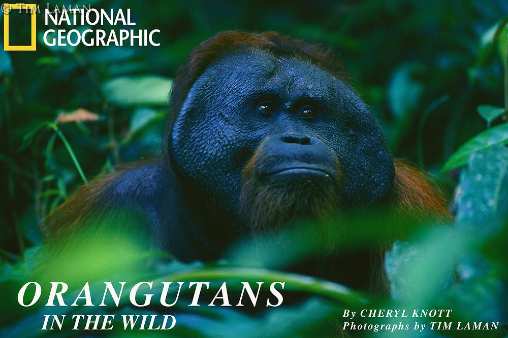 Jari Manis, an adult male  Bornean orangutan (Pongo pygmaeus), eats ginger stems while keeping an eye on the female Marissa he has been following.