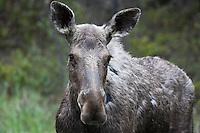 Female Moose (Alces alces), Kootenay National Park, British Columbia, Canada