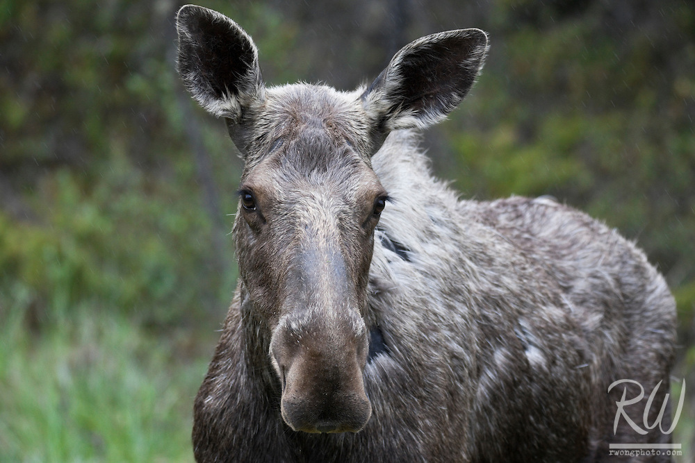 Female Moose (Alces alces), Kootenay National Park, British Columbia, Canada