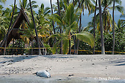Hawaiian monk seal, Monachus schauinslandi ( Critically Endangered ), 2.5 year old male resting on beach, with police tape marking no-entry zone to keep humans away, at Pu'uhonua o Honaunau ( City of Refuge ) National Historical Park, Kona, Hawaii, U.S.A.
