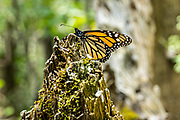 A monarch butterfly warms in the sun in their over-wintering site at the Sierra Chincua Biosphere Reserve January 20, 2020 near Angangueo, Michoacan, Mexico. The monarch butterfly migration is a phenomenon across North America, where the butterflies migrates each autumn to overwintering sites in Central Mexico.