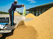 """23 NOVEMBER 2016 - AYUTTHAYA, THAILAND: A farmer empties a sack of rice at a rice storage facility during the rice harvest in Ayutthaya province, north of Bangkok. Rice prices in Thailand hit a 13-month low early this month. The low prices are hurting farmers. Rice exports account for around 10 percent of Thailand's gross domestic product, and low prices frequently lead to discontent in the rural areas of Thailand. The military government has responded by sending soldiers to rice mills, to """"encourage"""" mill owners to pay farmers higher prices. The Thai army and navy are also buying for their kitchens directly from farmers in an effort to get more money into farmers' hands.  PHOTO BY JACK KURTZ"""