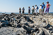 People regard a mass of Galapagos Marine Iguanas (Amblyrhynchus cristatus) on Punta (Point) Espinoza, on Fernandina (Narborough) Island, Galápagos Islands, a province of Ecuador, South America. Marine Iguanas, the world's only sea-going lizard species, are found nowhere else on earth. Marine Iguanas feed almost exclusively on marine algae, expelling the excess salt from nasal glands while basking in the sun, coating their faces with white. Marine Iguanas live on the rocky shore or sometimes on mangrove beaches or marshes. Most adults are black, some grey, and the young have a lighter colored dorsal stripe. The somber tones allow the species to rapidly absorb the warm rays of the sun to minimize the period of lethargy after emerging from the frigid water, which is cooled by the Humboldt Current. Breeding-season adult males on the southern islands are the most colorful and will acquire reddish and teal-green colors, while Santa Cruz males are brick red and black, and Fernandina males are brick red and dull greenish. The iguanas living on the islands of Fernandina and Isabela (named for the famous rulers of Spain) are the largest found anywhere in the Galápagos. The smallest iguanas are found on Genovesa Island. Fernandina Island was named in honor of King Ferdinand II of Aragon, who sponsored the voyage of Columbus. In 1959, Ecuador declared 97% of the land area of the Galápagos Islands to be Galápagos National Park, which UNESCO registered as a World Heritage Site in 1978. Ecuador created the Galápagos Marine Reserve in 1998, which UNESCO appended in 2001.