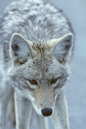 Coyote, (Canus latrans) Portrait in winter. Yellowstone National Park.
