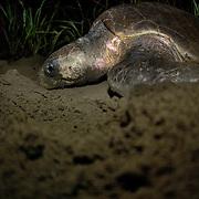 Sea Turtle nesting season. Los Santos, Panama
