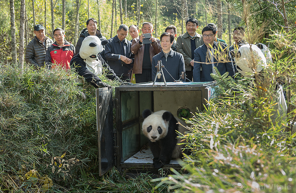 Scientist M. Sanjayan films at the Wolong Panda Reserve managed by the China Conservation and Research Center for the Giant Panda in Sichuan, China. For the first time in 50 years since the WWF adopted the panda as the symbol of wildlife conservation, the loss of one of the world&rsquo;s most iconic species is being reversed. Their habitat is being restored, and every year from now on, more captive pandas will be &ldquo;trained&rdquo; to be wild and then released.<br /> <br /> The accomplishment is extraordinary&mdash;first the Chinese have had to solve the famous problem of getting Pandas to mate. Then, they&rsquo;ve had to take an animal that has lost its wild instincts, and re-train it to survive in the harsh Sichuan mountain cloud forests. It&rsquo;s taken Chinese researchers over 30 years to solve these problems.<br /> <br /> Many of us have ceased to think of the panda as a &ldquo;wild&rdquo; creature. It&rsquo;s more of a cartoon animal that lives in zoos.  But watching Zhang Xiang, the first female panda to be released into the wild, you realize that she may be the most famous panda that no one&mdash;save a handful of scientists-- will ever see.