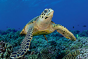 Hawksbill Sea Turtle (Eretmochelys imbricata) photographed in Tiputa Pass, Rangiroa, French Polynesia.