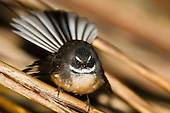 Fantail Pictures - Photos