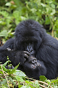 Mountain Gorilla<br /> Gorilla gorilla berengei<br /> Mother grooming 1 year old baby<br /> Virunga Volcanoes National Park, Rwanda<br /> *Endangered Species