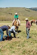 Cowboys, dragging calves to the fire, branding, Lazy SR Ranch, Wilsall, Montana, Jessie Sarrazin, Kurt Mraz