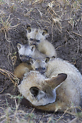 Bat-eared fox<br /> Otocyon megalotis<br /> 5 week old pup(s) resting on top of parent<br /> Masai Mara Reserve, Kenya