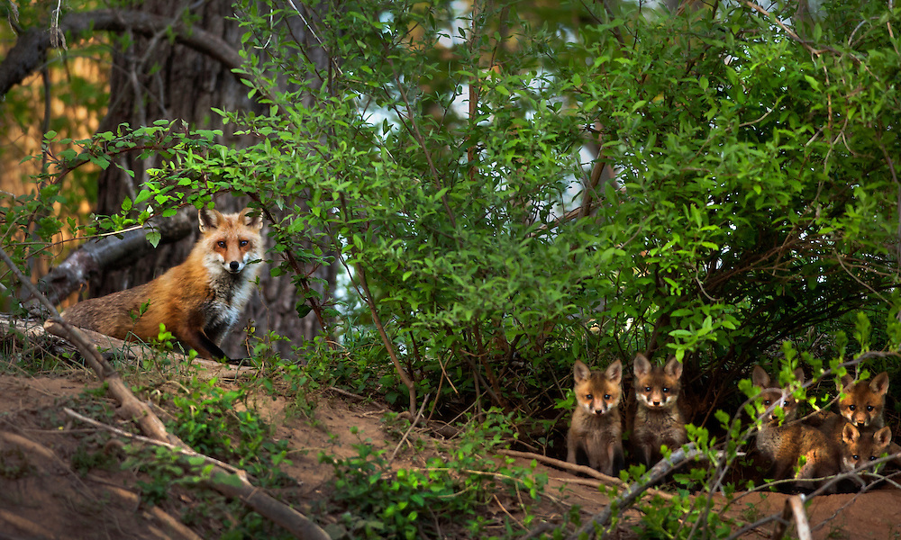 A mother fox keeps a colse eye on her pups in a county forest in Cockeysville, Md., April, 2013. Photo by Glenn Fawcett