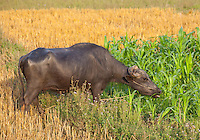 Domestic Water Buffalo, Bubalus bubalis, eating corn, Bardiya, Nepal