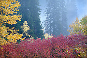 Misty Dusk in Autumn Forest, Washington Cascade Mt.