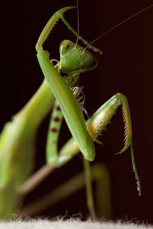 Praying mantis in Tanzania