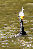 Cormorants and Darters
