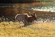 calf, elk, madison river, back light, yellowstone national park