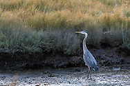 An alert Great Blue Heron (Ardea herodias) walking the intertidal shoreline at low tide.  Photographed at Blackie Spit in Surrey, British Columbia, Canada.